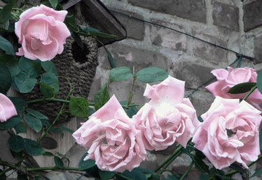 How Close to the House Foundation Should You Plant Small Rose Bushes?