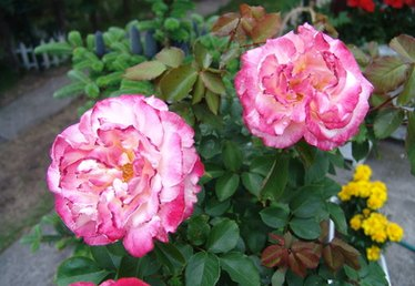 The Best Time to Plant a Rose Bush