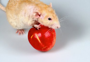 How to treat urinary tract infections in rats