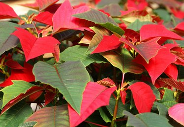 What Do You Fertilize Poinsettias With?