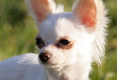 Chihuahua Ear Infections