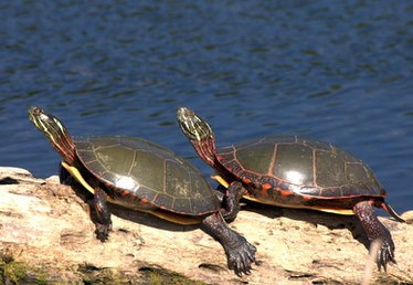 What Plants Do Painted Turtles Eat?