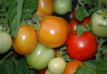 What Causes White Spots on Home Grown Tomatoes?