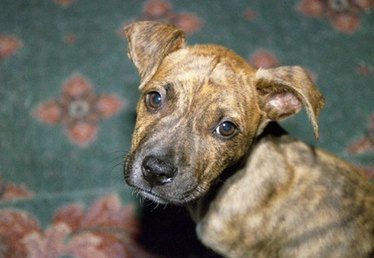 Massachusetts Insurance Laws for Homeowners with Pit Bull Dogs