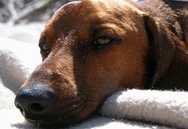 Tea Tree Oil for Canine Mites Treatment