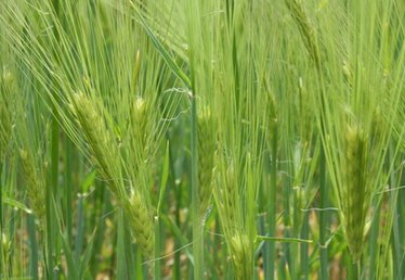 How to Grow Wheat Germ