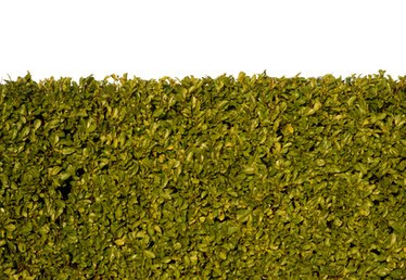 Types of Privet Hedges