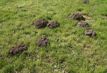 How to Kill Moles in Washington State