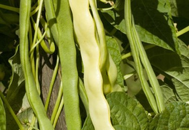Fertilizer for Pole Beans