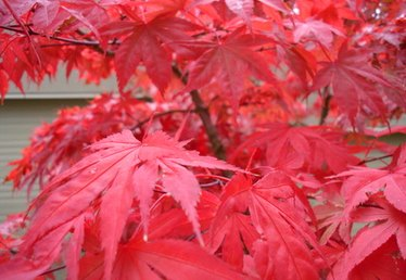 How to Care for Japanese Maple Trees in Freezing Temperatures