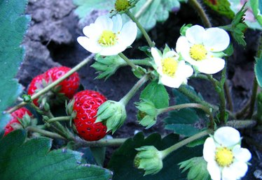 How to Protect Strawberry Plants From Critters