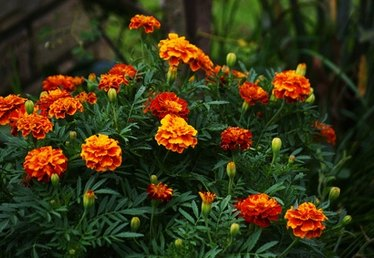 What Kind of Flower Does a Marigold Look Like?