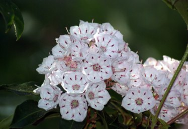 How to Propagate Mountain Laurel