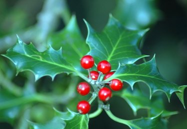 How to Transplant a Holly Bush