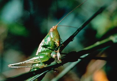 How to Kill Grasshoppers in Grass
