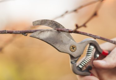 When to Prune Pecan Trees