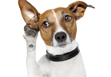 How Does a Dog's Hearing Differ From a Human's?