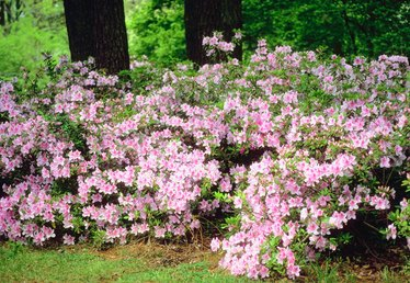 Azaleas That Bloom Twice a Year