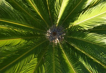 What to Do When Sago Palm Leaves Freeze