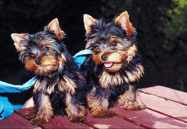 How to Train Yorkies Not to Bark