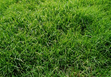 When to Plant Centipede Grass