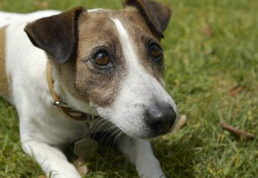 What Colors Are Jack Russells?