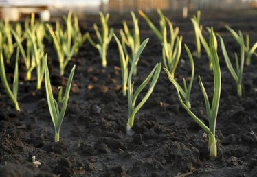 My Garlic Is Sprouting: Can I Plant It?