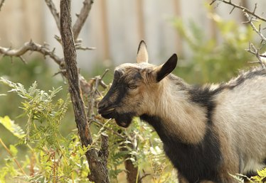 How to Keep Goats from Eating Shrubs & Fruit Vines