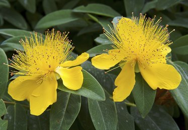 How to Care for St. John's Wort Plants