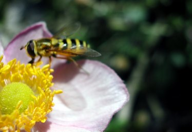 What Do Wasps Pollinate?