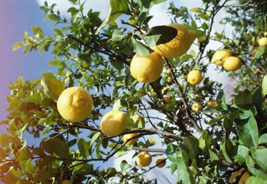 What Time of Year Do Lemon Trees Bear Fruit?