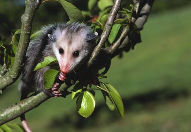How to Get Rid of Possums Under Decks