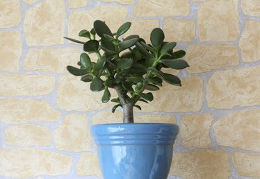 Advice on Plant Care for a Chinese Money Tree Plant