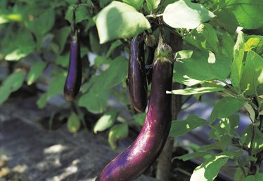 Growing Eggplants From Cuttings