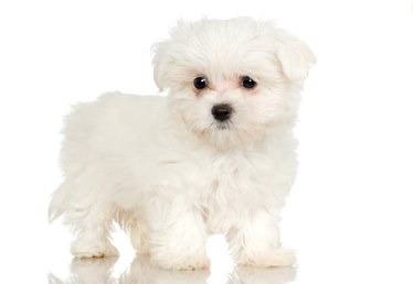 How to Groom Around the Eyes of a Maltese Puppy