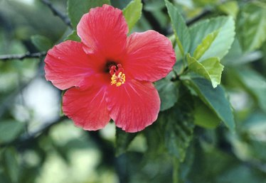 How to Grow Hardy Hibiscus From Seed