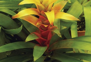 How to Transplant Bromeliad Pups