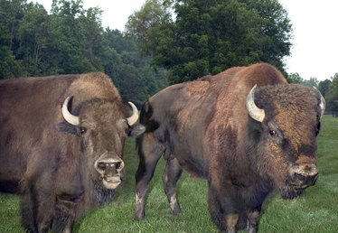 How to Raise Bison in North Carolina