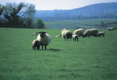 Grants for Raising Sheep