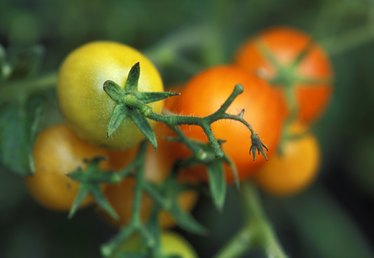 What Temperatures Will Kill Tomato Plants?