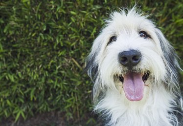 Why Do Older Dogs Shed Big Clumps of Hair?