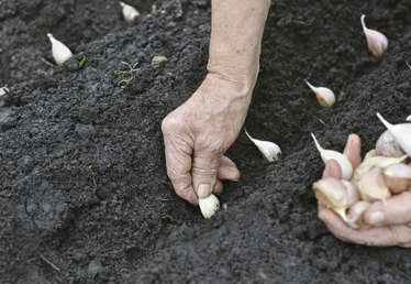 How to Plant & Grow Garlic in the Garden