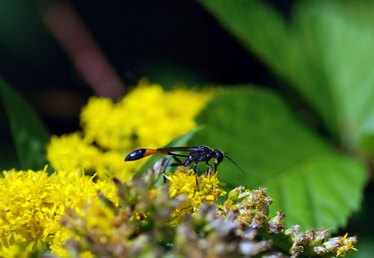 What Are the Different Types of Wasps in Minnesota?