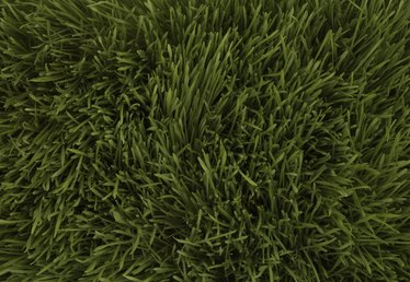 How to Remove Ryegrass From Bermuda
