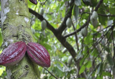 Cocoa Tree Facts