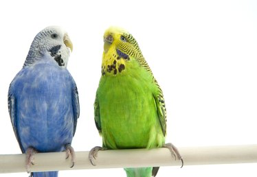 Which Birds Are Compatible With Female Budgies?