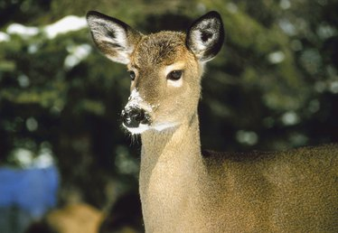 Vegetable Plants That Deer Do Not Eat