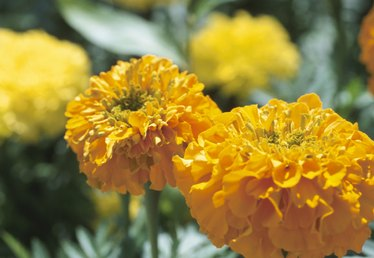 What Do Marigold Plants Look Like?