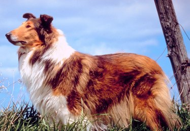 How to Stop a Collie From Barking