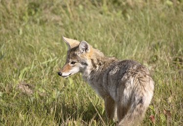 What Is a Coydog?